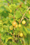 5 Yellow Gooseberry Plant / Uva Crispa Hinnonmakii' 3-5 Branches, Ready To Fruit