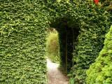 50 Green Beech Hedging Plants, Fagus Sylvatica Trees, 30-50cm,Copper in Winter