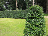 30 Green Beech 5-6ft Instant Hedging Trees,Copper Winter Colours.All Year Cover