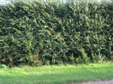 1 Hawthorn 2-3ft Tall Hedging Plant, Whitethorn, Quickthorn, Thorny Native Hedge