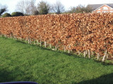 25 Green Beech Hedging Plants 2 Year Old, 1-2 ft Grade 1  Hedge Trees 40-60cm