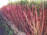 5 Red Dogwood 2-3ft Hedging Plants,Beautiful Red Bark Cornus Alba Sibirica