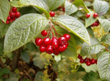 5 Franchet's Cotoneaster 2-3ft ,Semi-Evergreen Cotoneaster Franchetii Hedging