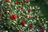 English Holly 'Alaska' / Ilex Aquifolium 'Alaska' 20-30CM In 2L Pot