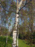 3  Silver Birch Native Trees 3-4ft Hedges Betula Pendula,2 Yr Old & Feathered