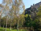 10 Silver Birch Native Trees 60-90cm,Native Betula Pendula, 2 Years Old, 2-3ft