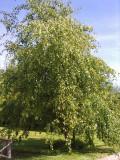5 Silver Birch Native Trees 60-90cm,Native Betula Pendula, 2 Years Old, 2-3ft