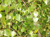 1 Silver Birch Native Tree 60-90cm,Native Betula Pendula, 2 Years Old, 2-3ft