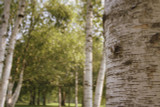 10 Silver Birch Trees 40-60cm,Quick Growing Screening,Betula Pendula Hedging