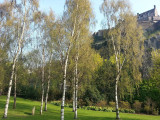 1 Silver Birch Tree 40-60cm,Quick Growing Screening,Betula Pendula Hedging