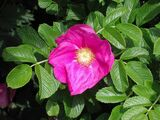 20 Red Wild Rose Hedging 2-3ft Plants,Rosa Rugosa Rubra 60-90cm,Flowers For 6mth