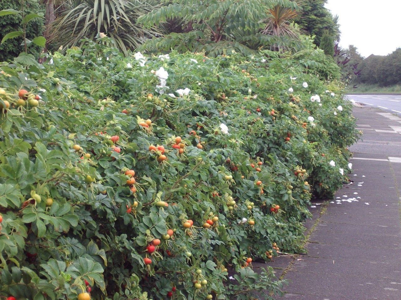 20 White Wild Rose Hedging 2-3ft Plants,Rosa Rugosa Alba 60-90cm ...