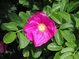 1 Red Wild Rose Hedging 2-3ft Plants,Rosa Rugosa Rubra 60-90cm,Flowers For 6mth