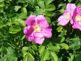3 Common Wild Rose Hedging 2-3ft Plants,Keep Burglars Out! Rosa rugosa 60-90cm