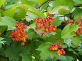 5 Guelder Rose Hedging Plants Viburnum Opulus Native Hedge,Flowers & Berries 2ft