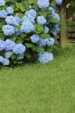 Hydrangea macrophylla 'Nikko Blue' 20-30cm In 2L Pot, Lovely Blue Flowers
