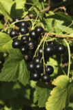 5 Ben Sarek Blackcurrant Plants/ Ribes Nigrum 'Ben Sarek' 2-3ft Tall