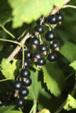 3 Blackcurrant Bush 'Ben Nevis' Multistemmed Plants 2-3ft Tall