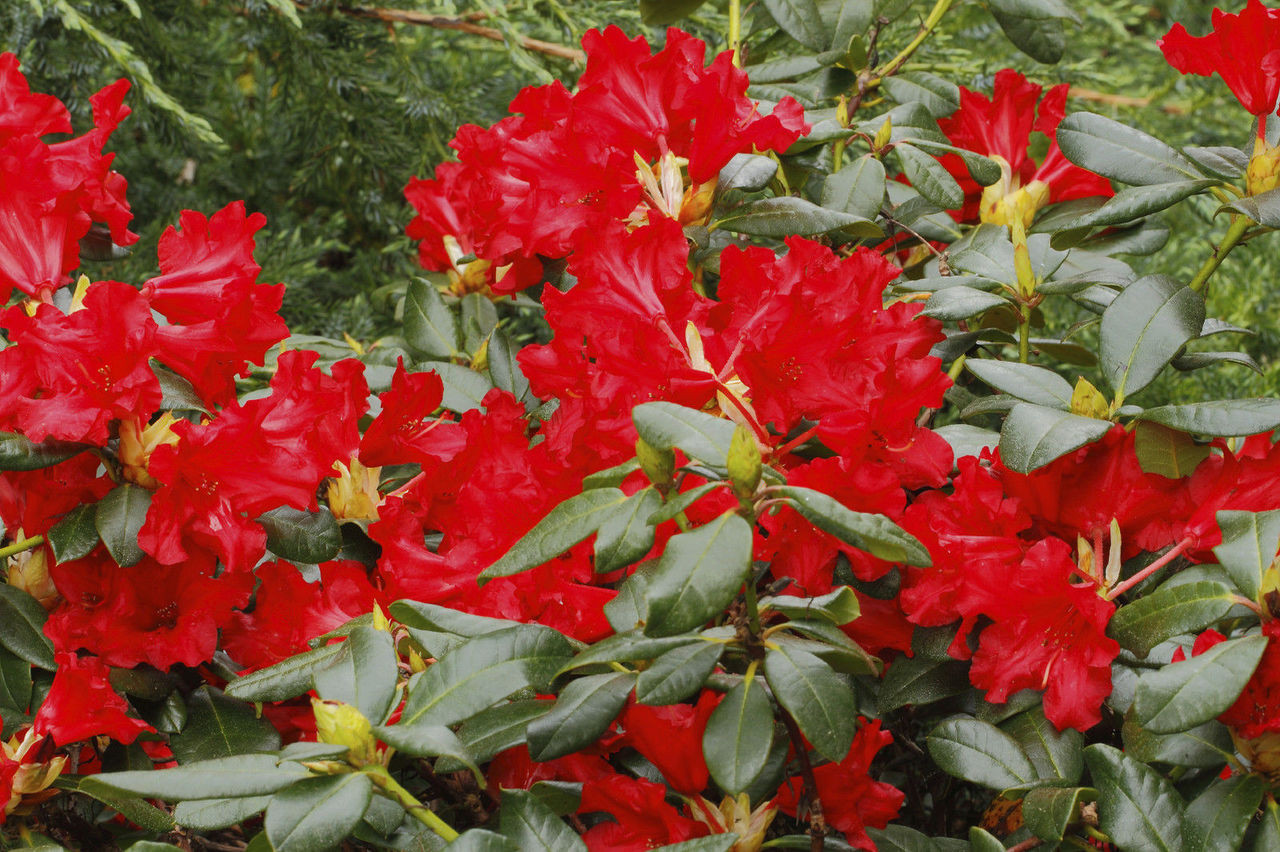 rhododendron 39 red jack 39 30 40cm tall in 5l pot stunning. Black Bedroom Furniture Sets. Home Design Ideas