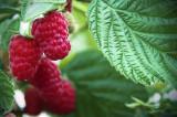 1 'Malling Promise' Red Raspberry Bush / Rubus Idaeus 'Malling Promise'