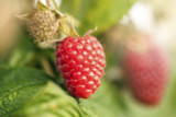 5 'Malling Promise' Red Raspberry Bushes / Rubus Idaeus 'Malling Promise'