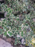 1 Holly Plant Ilex Aquifolium 'Silver Queen' 20cm In 2L Pot Excellent Hedging