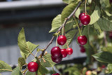 50 Wild Cherry Trees 2-3ft Stunning Blossom, Edible Cherries & Wild Bird Food
