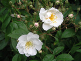 'Bobby James' Rambling Rose,Heavy Clusters Of Small Scented,Semi-Double Flowers