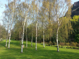 4 Silver Birch Native Trees 60-90cm 2 yr old Hedges Betula in 1lt pots