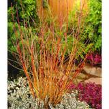 3 'Midwinter Fire' Dogwood / Cornus Sanguinea 20-30cm in 2L Pots, Stunning Bark
