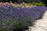 10 x Bushy Lavender / Lavandula angustifolia 'Hidcote' Plants In 2L Pots