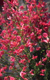 1 Red Broom - Cytisus x Praecox Hollandia Plant 25-30cm in 2L Pot