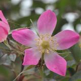 25 Rubrifolia Roses 2ft Rosa Glauca Rubrifolia Hedge Plants,Red Leafed Rosa