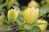 Magnolia 'Brookl. Yellow Bird' in 2L Pot 3ft tall, Goblet shaped Yellow Flowers