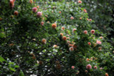 'Gloire de Dijon' Subtle Fragranced Climbing Rose,Buff Yellow, Old Favourite