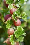 1 Red Gooseberry 'Captivator' Plant Ribes uva Crispa, Multi-stemmed,3-5 Branches