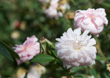 'Cecile Brunner' Fragrant Climbing Rose, Delicate Soft Pink Hardy China Rose