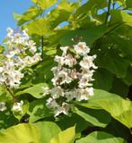 Catalpa Bignonioides Aurea 3ft Tall, Golden Indian Bean Tree 3L Pot, Stunning Golden Leaves