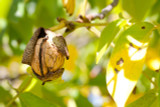 English Walnut Fruit Tree 1-2ft In a 2 Litre Pot,Grow Nuts,Persian Juglans Regia