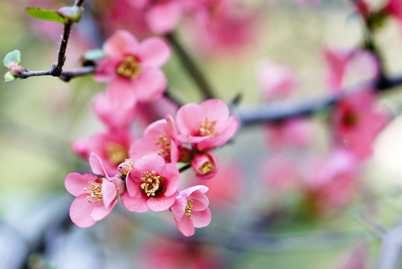 Chaenomeles Superba Pink Lady Japanese Quince 20 30cm Tall In