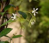 3 Star Jasmin Plants / Trach Jasminoides 30cm In 2L Pots, Pure White & Fragrant