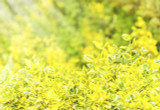 Emerald 'n' Gold / Euonymus Fortunei Spindle, 30-40cm Tall In 2L Pot
