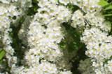 3 Spiraea japonica 'Albiflora' Plants / Japanese Spiraea 30-40cm Tall, 1.5L Pots
