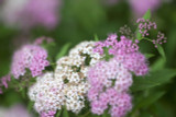 3 'Little Princess' Spirea Plants / Spiraea Japonica 'Little Princess' 20-30cm