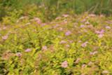 3 x Spiraea japonica 'Golden Princess' 30-40cm Tall, 1.5L Pots, Stunning Flowers