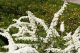 3 Spiraea nipponica June Bride plants 30-40cm Tall, 1.5L Pots, Stunning Flowers