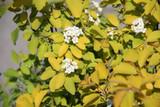 3 Spiraea vanhouttei 'Gold Fountain' Plants, 30-40cm Tall In 1.5L Pots