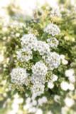 3 x Vanhoutte's Spirea (Meadowsweet) / Spiraea Vanhouttei, 30-40cm in 2L Pots