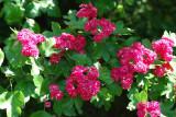 3 Midland Hawthorn 'Paul's Scarlet' / Crataegus Laevigata 4-5ft, in 5L Pots