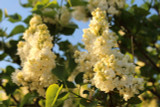 'Primrose' Syringa Vulgaris - Branched Lilac Tree 40-60cm Shrub in a 3L Pot.